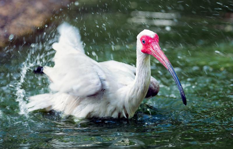 Ibis taking a bath
