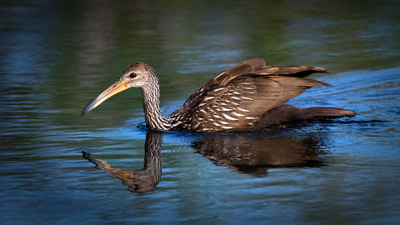 Limpkin swimming in early morning light