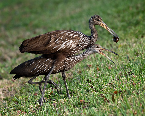 Two limpkins and a snail walk into a bar...