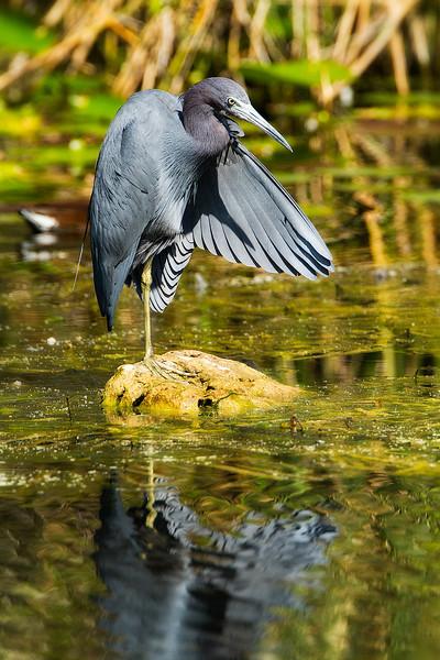 Little blue heron<br /> Shark Valley<br /> Everglades National Park