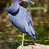 Little Blue Heron<br /> Shark Valley<br /> Everglades National Park