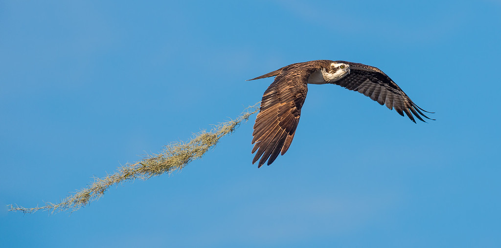 osprey with nest building materials