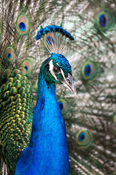 Peacock<br /> Flamingo Gardens<br /> Cooper City, Florida
