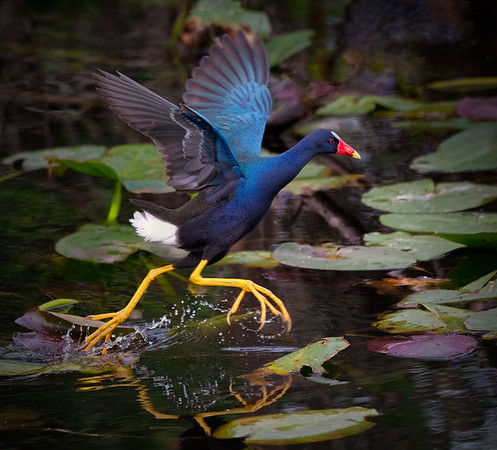 Purple Gallinule: On the move!