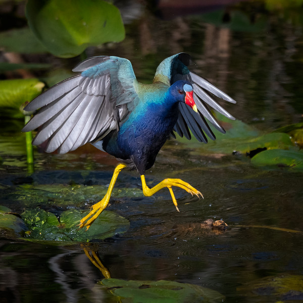 Purple Gallinule in action