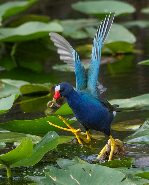 Purple Gallinule with worm