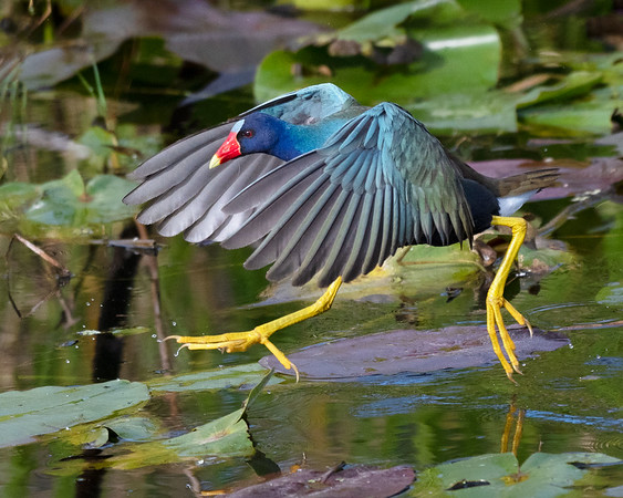 Purple gallinule in scamper mode