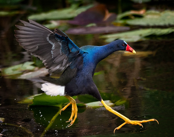 Purple Gallinule about to land