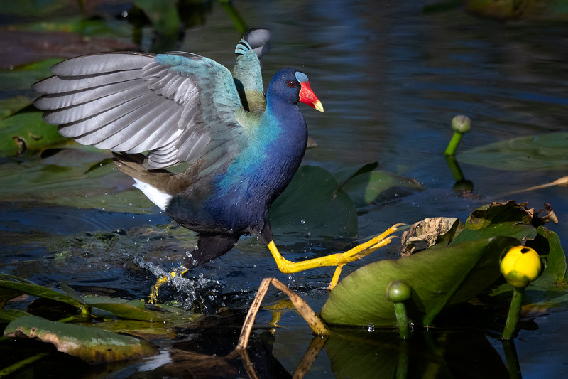 Purple Gallinule_more scampering!