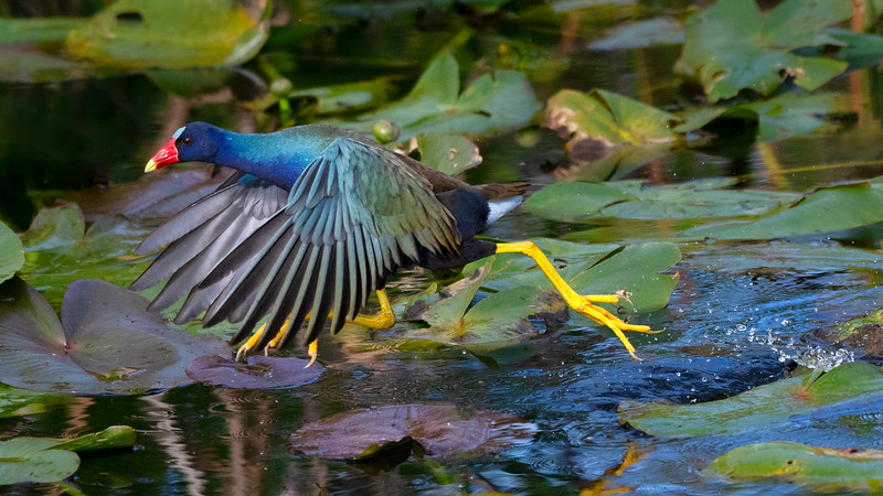 Purple Gallinule Scampering across the water