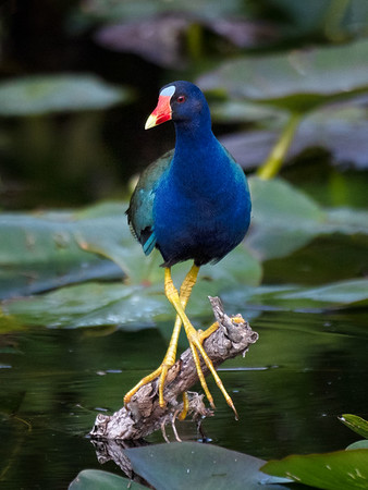 Purple Gallinule. I thought this behavior was unusual, but see the next image, taken on a different day. I don't know if it's the same bird.