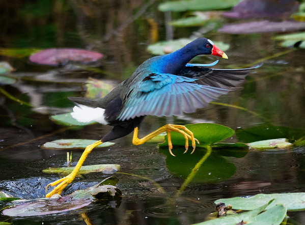 Purple gallinule: let's go!