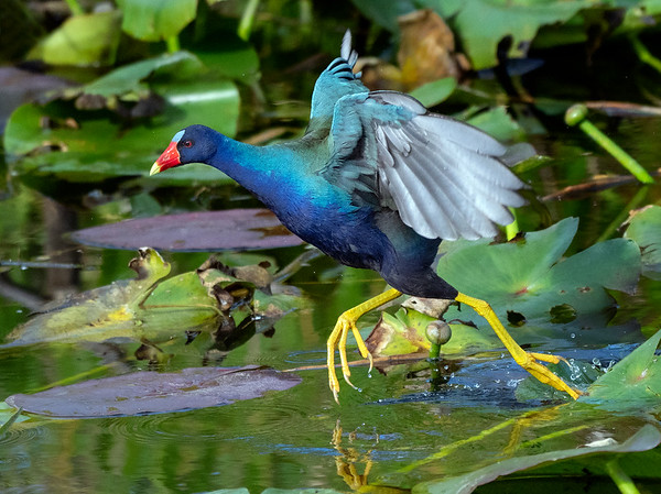 Purple Gallinule: I'm late!
