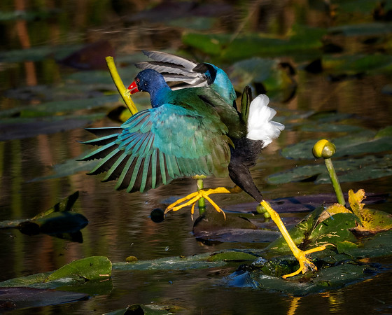 purple gallinule on the move with food