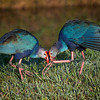 Two Purple Swamphens