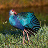 Purple Swamphen posing in early morning light
