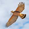 Red-Shouldered Hawk in Flight (Buteo Lineatus)