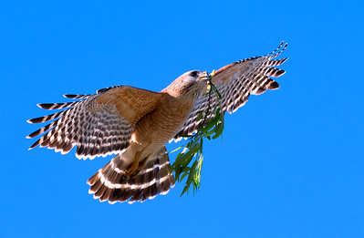 Red-Shouldered Hawk in Flight with nesting materials (Buteo Lineatus)