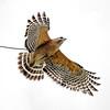 Red-Shouldered Hawk in Flight (Buteo Lineatus)