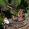 Female red-wing blackbird feeding her chicks a worm, but to which lucky chick?