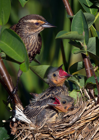 Female red-wing blackbird with chicks