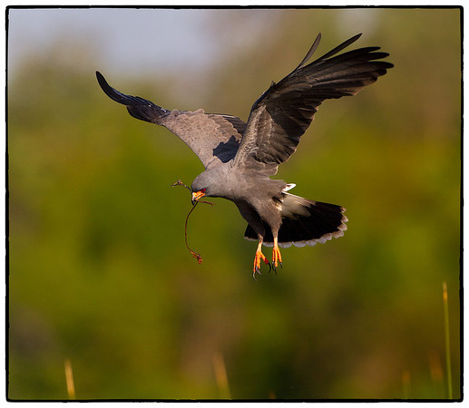 Snail Kite with nesting material.  Lake Toho, Florida  Photo by Ron Bernstein 3/15/11 at 8:23:49 AM with a Canon EOS 7D set to ISO of 320, shutter speed of 1/2000 at f/5.6