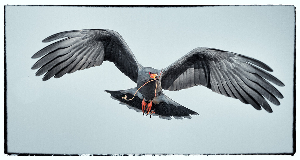 Snail Kite. Lake Toho, Florida  Photo by Ron Bernstein 3/15/11 at 8:24:17 AM with a Canon EOS 7D, ISO of 320, shutter speed of 1/2000 at f/5.6