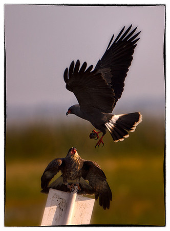 Male Snail Kite passing snail to female. Lake Toho, Florida  Photo by Ron Bernstein 3/15/11 at 4:03:15 PM with a Canon EOS 7D set to ISO of 500, shutter speed of 1/1600 at f/6.3