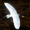 Snowy Egret in flight, Shark Valley, Everglades National Park
