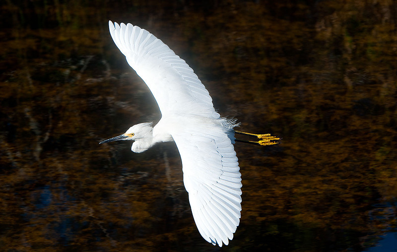 Snowy Egret in flight, Shark Valley, Everglades National Park