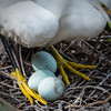 Snowy egret with eggs. Will they all hatch? Survive? Be gifted?<br /> Alligator Farm<br /> St. Augustine, Florida