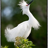 Snowy Egret in breeding plumage<br /> Alligator Farm<br /> St. Augustine, Florida