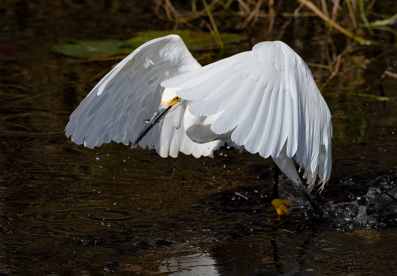 Snowy egret fishing