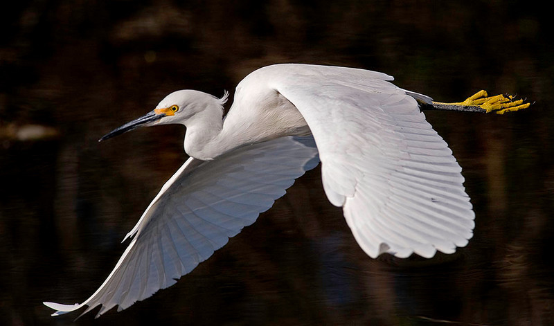 Snowy egret in flight<br /> Shark Valley<br /> Everglades National Park
