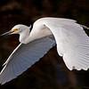 Snowy egret in flight<br /> Shark Valley<br /> Everglades National Park