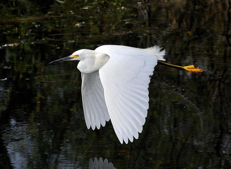 Snowy Egret<br /> Shark Valley<br /> Everglades National Park