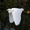Snowy Egret<br /> Shark Valley<br /> Everglades National Park