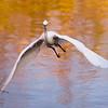 Great egret<br /> Shark Valley<br /> Everglades National Park