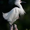 Snowy Egret in breeding plumage<br /> Alligator Farm<br /> St. Augustine, Florida
