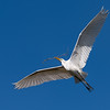Great Egret with Nesting Materials