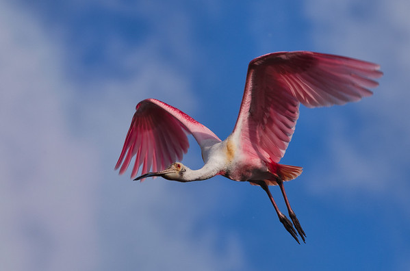 Roseate Spoonbill in flight