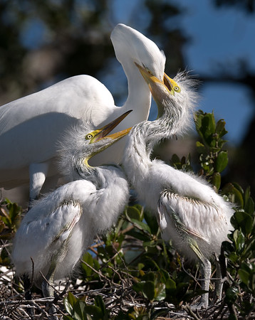 Great Egret with Chicks teaching feeding skills