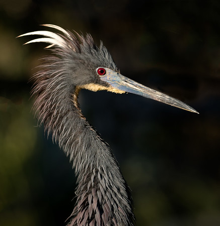 Little blue heron in profile