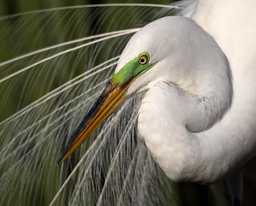 Male Great Egret in breeding plumage.