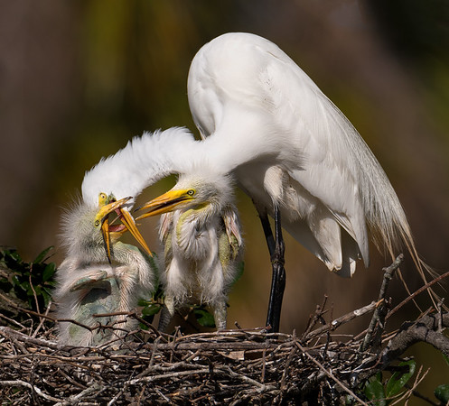 Male Great Egret with chicks on the nest teaching feeding skills