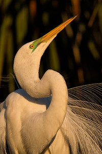 Male Great Egret displaying in golden light