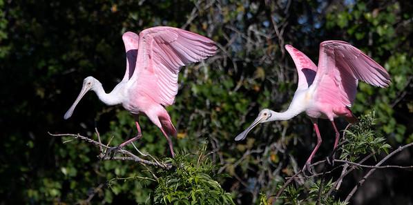 A pair of Roseate Spoonbills