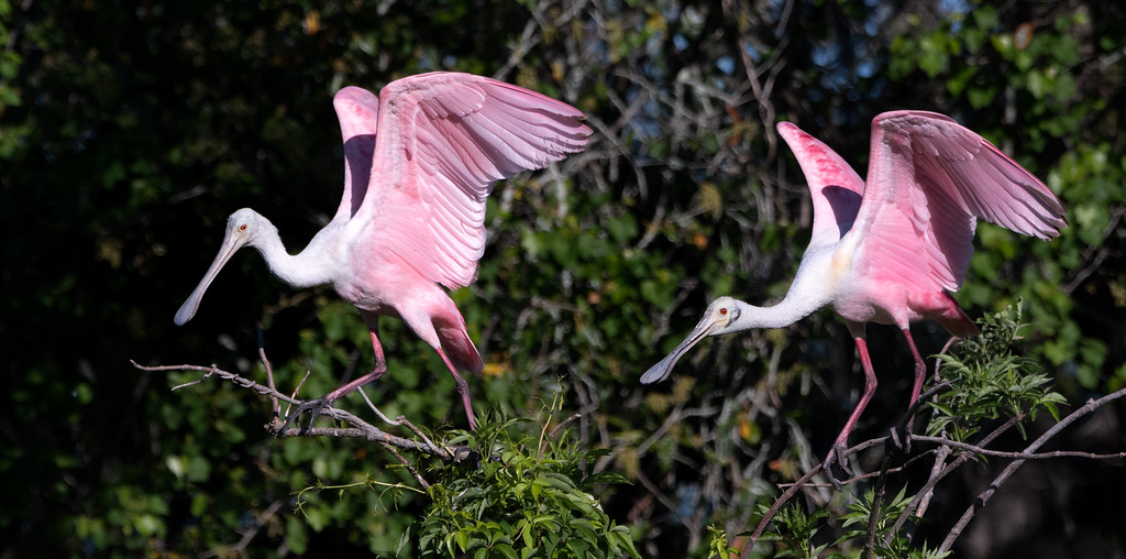 A pair of Roseate Spoonbills