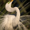 Male Great Egret in Breeding plumage, displaying