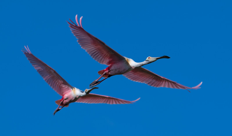 Roseate Spoonbilsl in flight